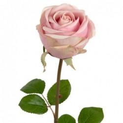 Rose - Mr Plant - Rose ancien - 75 cm