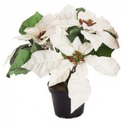 Poinsettia - Mr plant - Blanc - 23 cm